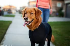 Do All Dogs Shed Fur by Shed Defender Leotard For Dogs Stops Them Shedding Their Hair All