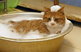 bathing cats should you bathe your cat cats exclusive