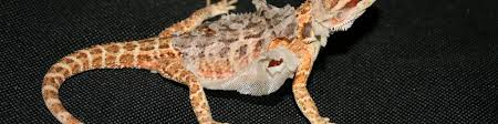 Bearded Dragon Heat Lamp Timer by Using Programmable Timers For Bearded Dragon Lighting U2013 Bearded