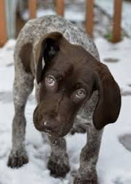 german shorthaired pointer shed how to groom a german shorthaired pointer many