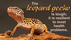 Improper Shedding Bearded Dragon by What Is The Life Span Of Leopard Geckos How To Care For Them