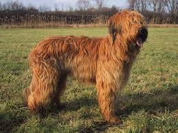 Non Shed Dog Breeds Large by Briard Dog Photo Briard Pictures Information Training