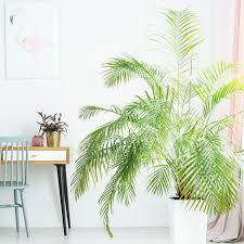 palmen richtig pflegen und düngen tipps für ihre zimmerpflanze