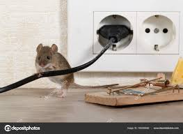 100 Mouse Apartment Closeup Stands Chewed Wire Trap Electrical Outlet