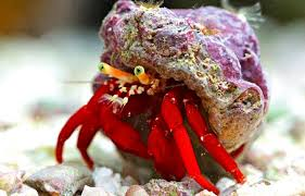 Halloween Hermit Crab by Essential Cleaners For The Reef Tank U2014 Practical Fishkeeping Magazine