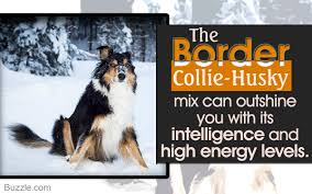 Do Blue Heeler Border Collies Shed by Lesser Known Personality Traits Of The Border Collie Husky