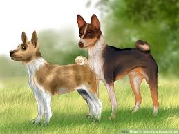Basenji Shedding Puppy Coat by How To Identify A Basenji Dog 13 Steps With Pictures Wikihow
