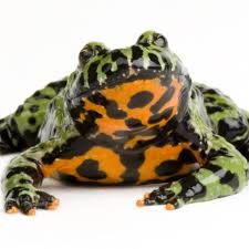 Do Aquatic Dwarf Frogs Shed Their Skin by Oriental Fire Bellied Toad National Geographic