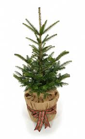 Nordmann Fir Christmas Tree Seedlings by Container Grown Christmas Trees Rainforest Islands Ferry