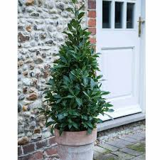 Christmas Tree Saplings For Sale Uk by Cheap Trees For Sale Online Buy Trees Uk Van Meuwen