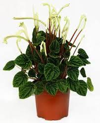 entretien plante grasse d interieur peperomia tous les conseils d entretien