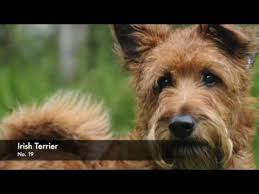 Small Non Shedding Dogs Australia by Breeds Of Non Shedding Dogs Youtube