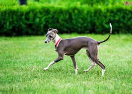 Do Italian Greyhounds Shed A Lot by Italian Spinone Dog Breed Information Buying Advice Photos And