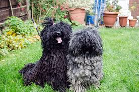 What Dog Sheds The Most puli dog breed information pictures characteristics u0026 facts
