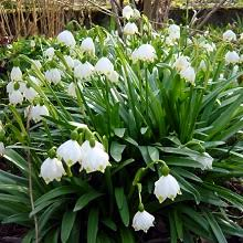 snowflake in the green leucojum vernum available now