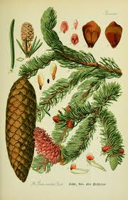 Christmas Tree Species by Biodiversity Heritage Library 12 Species Of Christmas