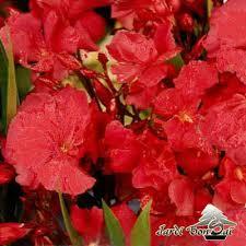 laurier fleurs doubles pot de 3 litres plus de 2