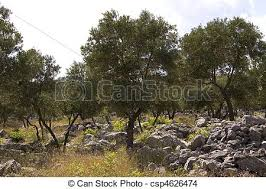 Olive garden Olive trees on mountain near coast line stock photo