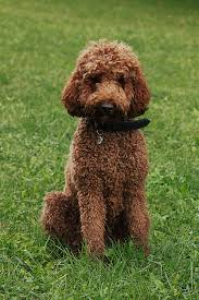 Best Dog Breeds That Dont Shed by Hypoallergenic Dog Breed Wikipedia