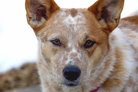 stop blue heeler shedding australian cattle breed information pictures characteristics