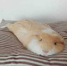 Pine Bedding For Guinea Pigs by 620 Best Guinea Pigs Images On Pinterest Guinea Pigs Pig