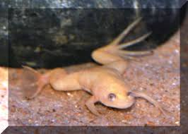 Should African Dwarf Frogs Shed by Faqs About Xenopus Laevis African Clawed Frogs Systems