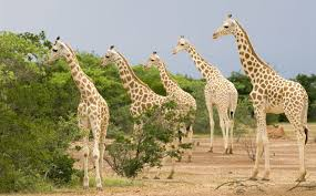 West African Giraffes Back From The Brink
