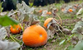 Pumpkin Patch Columbus Ga by Pick A Pumpkin Pumpkin Patch In Esperance Ny Livingsocial