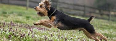 all about the yorkie s hair pedigree