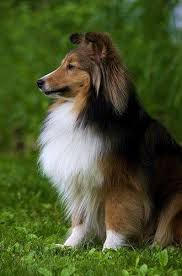 Sheltie Shedding In Clumps by 630 Best Animals Cats U0026 Dogs Images On Pinterest Beautiful