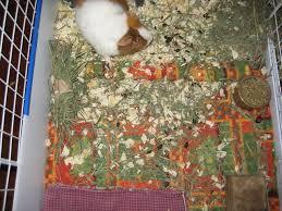 Pine Bedding For Guinea Pigs by Fleece U0027s Dirty Little Secret Guinea Pig Today