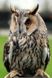 162 Best Owl's Images On Pinterest | Owls, Barn Owls And Children White Screech Owl Illustration Lachina Bbc Two Autumnwatch Sleepy Barn Owl Yoga Bird Feeder Feast And Barn Wikipedia Attractions In Cornwall Sanctuary Wishart Studios Red Eastern By Ryangallagherart On Deviantart Owlingcom Biology Birding Buddies 2000 Best 2 Especially Images Pinterest Screeching Youtube