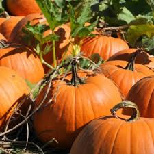 Pumpkin Patch Greenbrier Arkansas by 100 Pumpkin Patch Mayflower Ar Arkansas Pumpkin Patches
