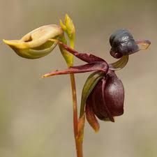 100pcs flying duck orchid seeds china beautiful orchids ebay