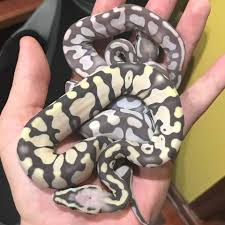 Ball Python Shedding Signs by Morph Graphics Some Post Shed Scaleless Ball Pythons Facebook