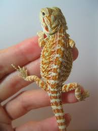 Bearded Dragon Shedding Process by Orange Citrus Bearded Dragon Found On Atlas Dragons Facebook