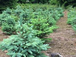 Fraser Fir Christmas Trees Uk by Christmas Trees Prices Pinewood Christmas Trees