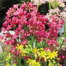 allium oreophilum 20 flower bulbs buy order now