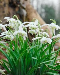 galanthus nivalis flore pleno bulbs snowdrops buy