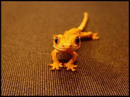 Baby Halloween Crested Gecko by Geckos No Other Appetite