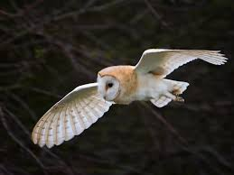 Travelling At Dusk   Valandreneau Barn Owl Tyto Alba 4 Months Old Flying Stock Photo Image Beauty Of Bird Our Barn Owl The Tea Rooms Chat Rspb Community A Flying At Folly Farm In Pembrokeshire West Wales Winter Spirit By Hontor On Deviantart Audubon Field Guide Vector 380339767 Shutterstock Wallpaper 12x800 Hunting A Royalty Free Tattoos Tattoo Ideas Proyectos Que Debo Ientar
