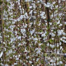 Prunus Snow Showers