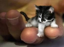 tea cup cat teacup kittens for teacup cats miniature