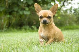 Small Dogs That Dont Shed Hair by 100 Small Breed Dogs That Dont Shed Family Dogs That Don
