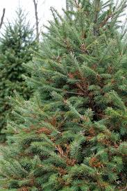 Frasier Christmas Tree by It U0027s Not Easy Growing A Christmas Tree George Weigel Pennlive Com