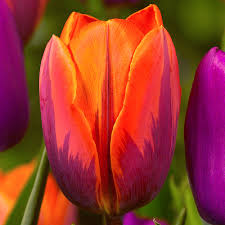 buy tulip princess irene j bulbs