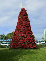 Christmas Tree Aphids Uk by Plant Of The Week U2013 Life Of A Plant Lover