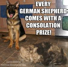 Shedding Blade German Shepherd by Best 25 German Shepherd Shedding Ideas On Pinterest Short