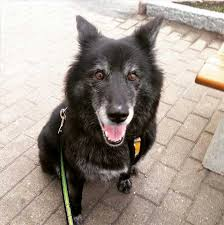 Low Shedding Dogs In India by Canaan Dog Breed Information Pictures Characteristics U0026 Facts