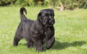 Do Giant Schnauzers Shed by Giant Schnauzer Puppies Breed Information U0026 Puppies For Sale